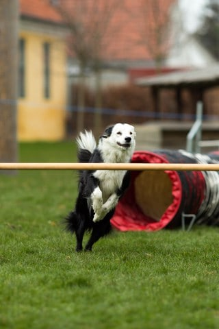 canine fitness agility