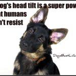 Dog inspiration: A dog's head tilt is a super power that humans can't resist
