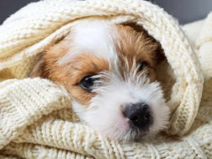 Science says sleep with your dog. Jack Russell Terrier snuggles in a blanket.