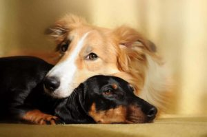 Science says sleep with your dog. An Australian shepherd and a Dachshund snuggle together.